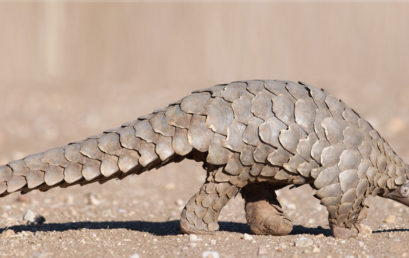 World Pangolin Day 15 February 2020